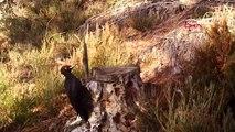 Tekirdağ'da kara ağaçkakan fotokapanla görüntülendi