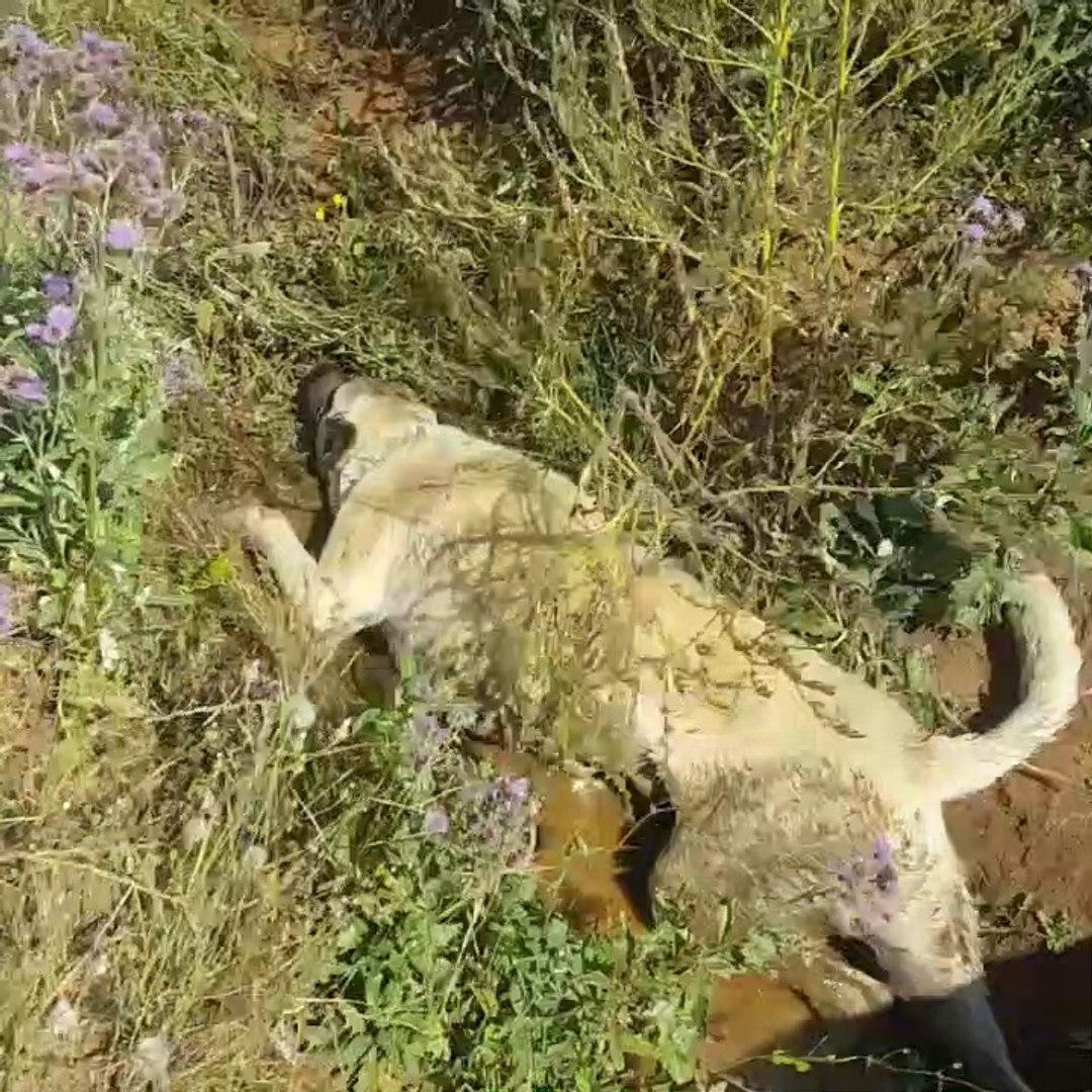 SiVAS KANGAL KOPEGiNiN OGLEN SERiNLEMESi - KANGAL SHEPHERD DOG NOON COOLiNG