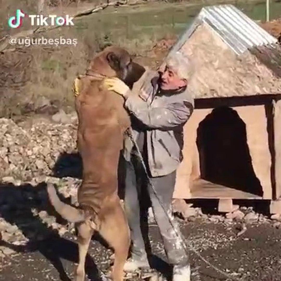 ANADOLU COBAN KOPEGi BiR ADAM BOYU - GiANT ANATOLiAN SHEPHERD DOG