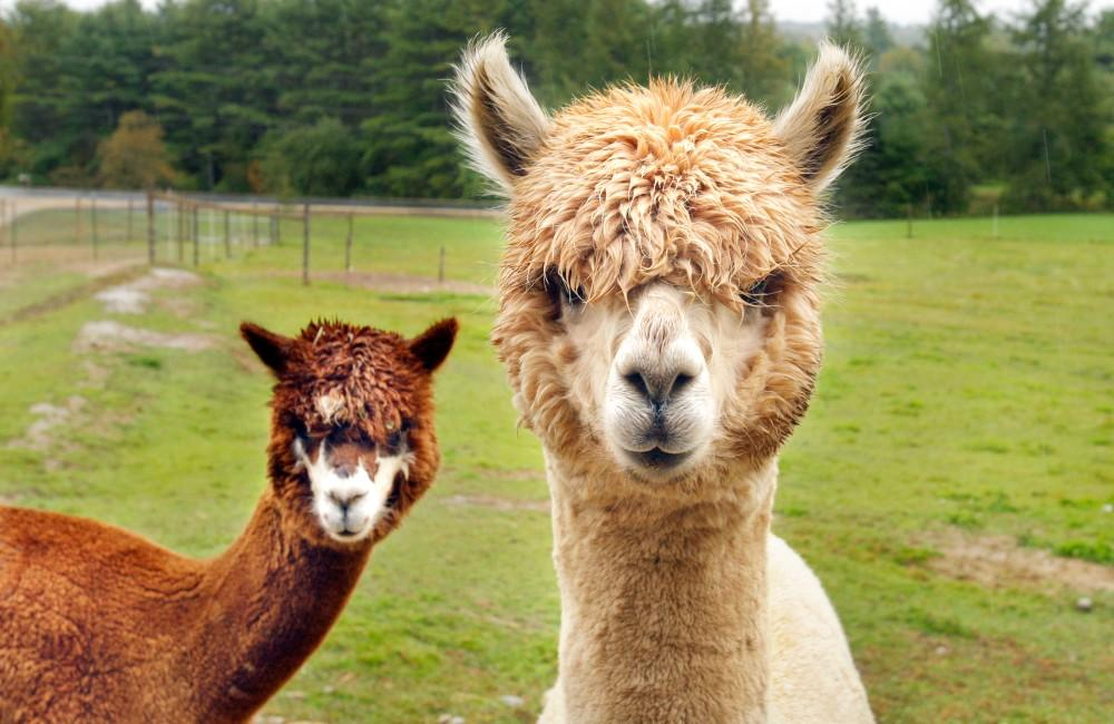 Hotel offers therapy llamas for guests