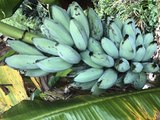 BLUE JAVA BANANAS! They taste like vanilla ice cream and you can buy them in Arizona - ABC15 Digital