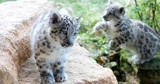 Au Big Cat Sanctuary, ces bébés léopards des neiges vont vous faire fondre