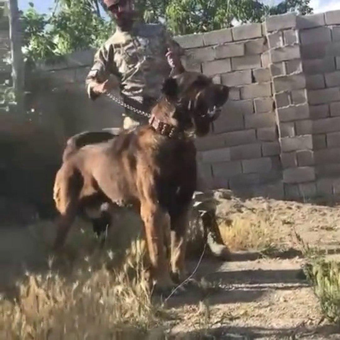 SiNiRLi ve ADAMCI iRAN KOPEGi - ANGRY PERSiAN SHEPHERD DOG