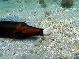 Un poulpe se glisse dans une bouteille de bière : nouvelle maison
