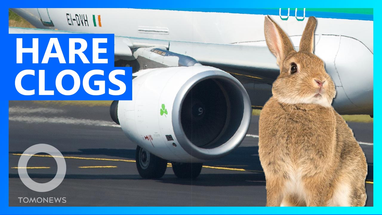 Rabbits are being sucked into plane engines in Ireland