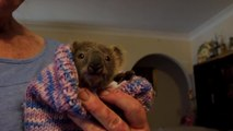 Lewis The Rescue Koala Dies Days After His Rescue