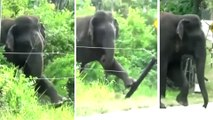 elephant can be seen using a brilliant technique to break an electric fence with its foot.
