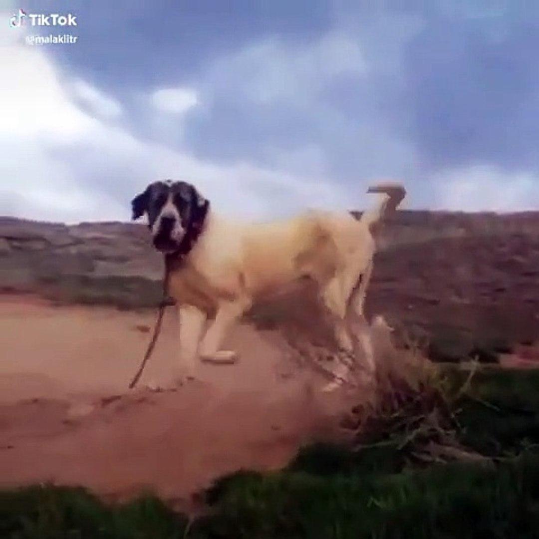 ADAMCI MALAKLI COBAN KOPEGi - ANGRY ANATOLiAN MALAKLI DOG