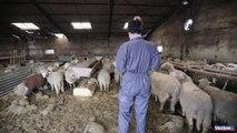 A Pertuis, plus de 1600 agneaux et une centaine de brebis meurent noyés