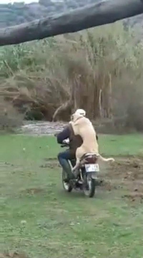 ANADOLU COBAN KOPEGiNiN MOTOR KEYFi - ANATOLiAN SHEPHERD DOG and MOTORBiKE