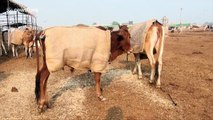 Cows in Ayodhya, India to get special winter coats this year