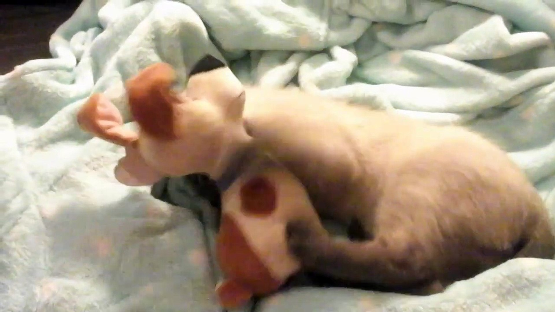Bengal vs Siamese - Pet Guide | Funny Pet Videos