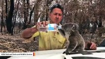 Australian Firefighter Gives Water To Exhausted Koala In Moving Video