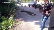 Massive crocodile rescued after wandering roads in northern India