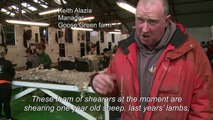 Falklands veers from sheep farming to nature tourism