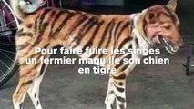 Il transforme son chien en tigre pour faire peur aux singes