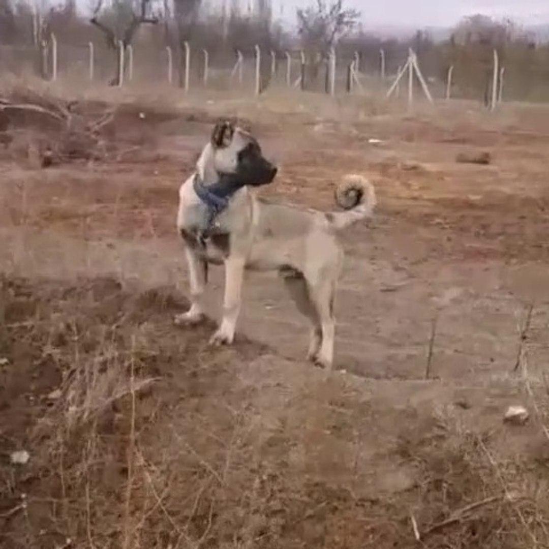 SiVAS KANGAL KOPEGi GOZLER HEDEFTE - KANGAL SHEPHERD DOG at GARDEN