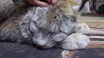 Ceci est un gros chat... un très gros chat. Lynx magnifique