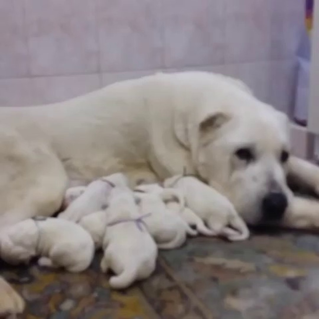 TURKMEN ALABAY KOPEK YAVRULARINA ANNE SUTU - ALABAİ SHEPHERD DOG PUPPiES MiLK MOM