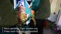 Große Reise für gerettete Tiger