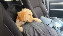 Golden Retriever Puppy Dozes Off in Car After Exhausting Day Out