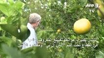 بكتيريا تقضي على أشجار البرتقال في فلوريدا