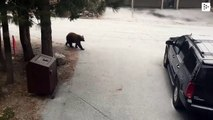 A bear opens the door of a car as if it were his own, in California