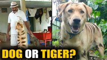 Karnataka farmer paints dog to look like a tiger to scare away monkeys  | OneIndia News