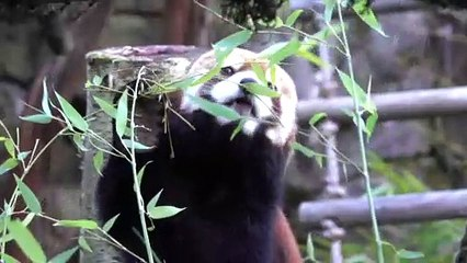 Red Pandas Share a Snack