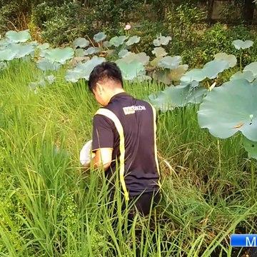Catch Wild Betta At Vietnam | Bắt Cá Lia Thia Đồng | Thailand