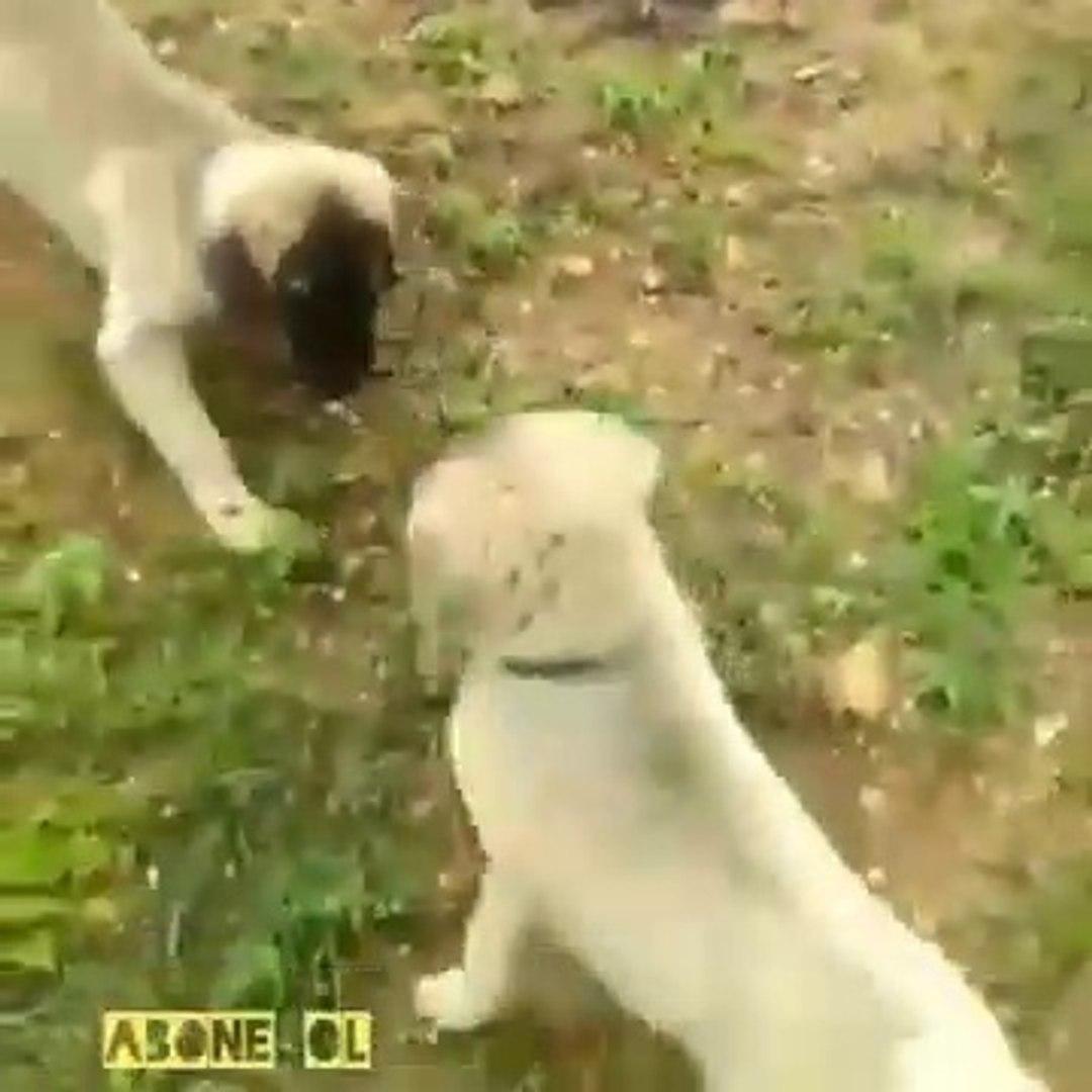 SiVAS KANGAL KOPEGi YAVRULARI VS - KANGAL DOG PUPPiES VS