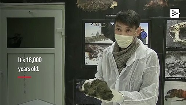 Scientifics find a mummy of a Prehistoric dog or wolf cub in permafrost