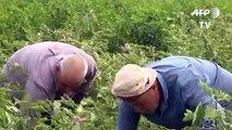 المبيدات الزراعية الإسرائيلية تدمر أراضي الغزيين على طول الحدود