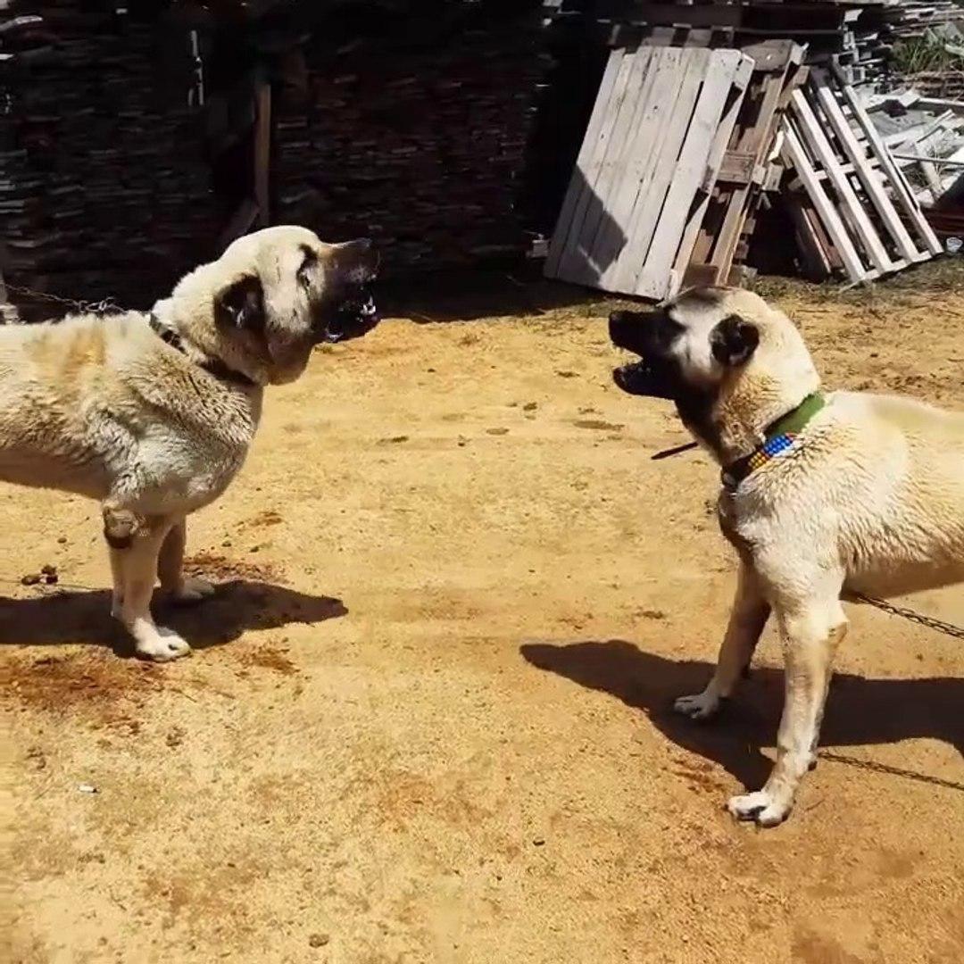 ANADOLU COBANKOPEKLERi KISA ATISMA - ANATOLiAN SHEPHERD DOG SHORT VS