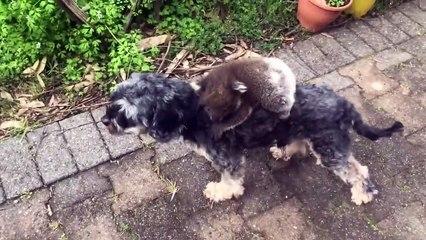 Un bébé koala prend ce chien pour sa maman