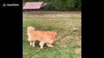Hilarious moment Golden Retriever is NOT amused by sprinkler in Indianapolis backyard