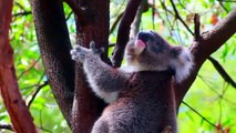 KOALA IN FOREST sound - Relaxing Australian Nature Quiet animal with birds and scream Australia 考拉 코알라 coala コアラ коала #कोअला สัตว์มีถุงหน้าท้องคล้ายหมี Australien أستراليا 澳大利亚 호주 Australie オーストラリア Австралия ऑस्ट्रेलिया  ออสเตรเลีย Châu Úc Avustralya hd