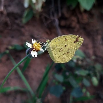 A a beautiful butterfly sitting on the Tridax procumbens flower.