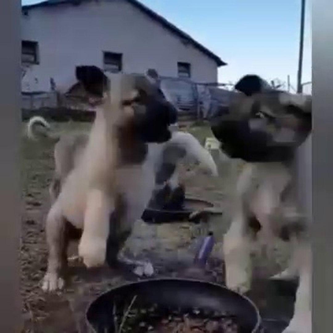 SiVAS KANGAL KOPEGi YAVRULARI SABAH KAHVALTISI vs - KANGAL DOG PUPPiES at BREAKFAST vs