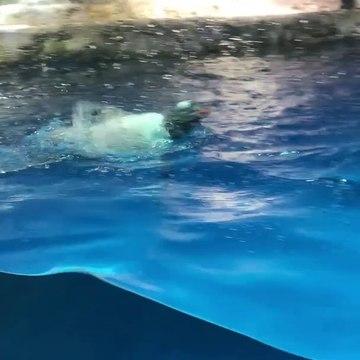 Cute Real Penguin doing back swim live animal ocean park hong kong 企鵝背泳香港海洋公園