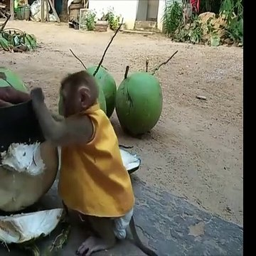 Baby Monkey Can't Keep Waiting for Coconut Water