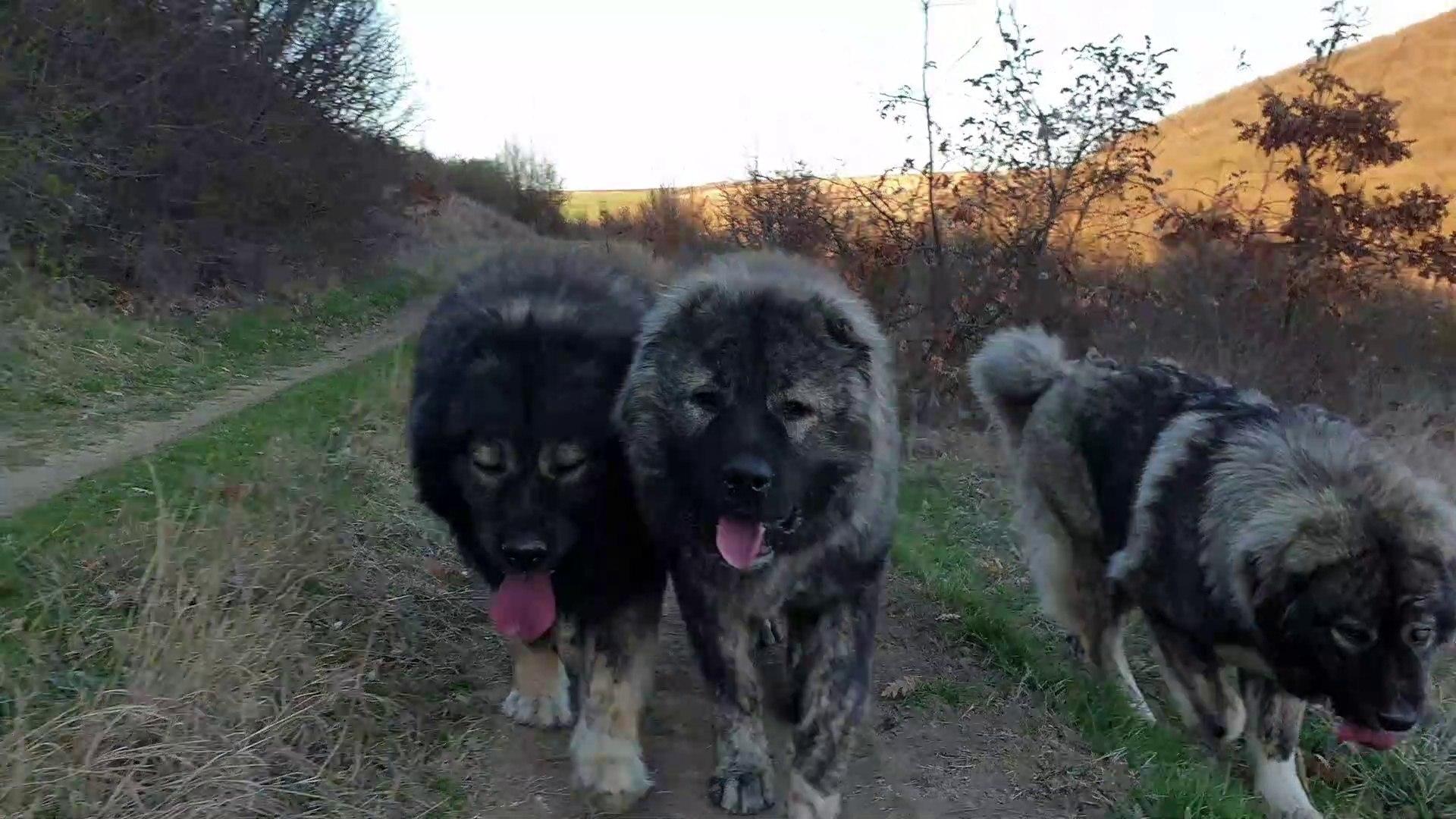 3 SiLAHSOR KAFKAS COBAN KOPEKLERi -THREE MUSKETEERS CAUCASiAN SHEPHERD DOGS