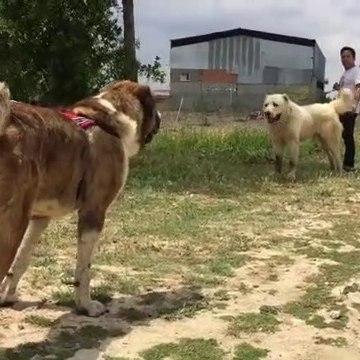 ALABAY COBAN KOPEKLERi KARSI KARSIYA - ALABAi SHEPHERD DOGS FACE TO FACE