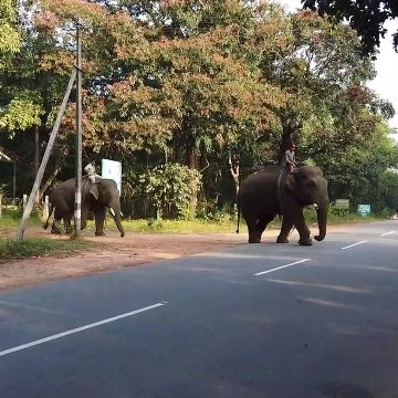 Keepers at 'elephant camp' in south India filmed bathing their beasts in river