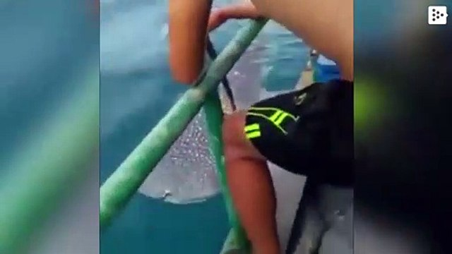 Some fishermen release a whale shark from a rope attached to its body