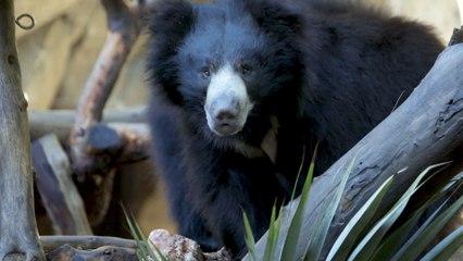Sloth Bear Brothers