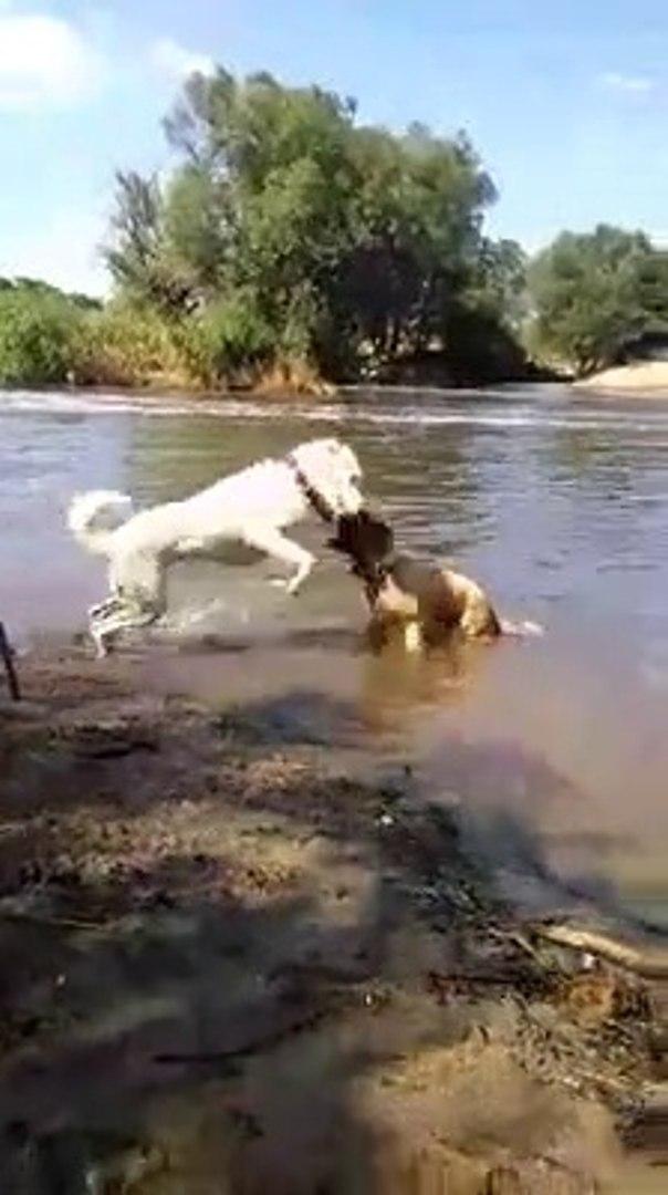 AKBAS COBAN KOPEGi ve KAFKAS COBAN KOPEGi SU KEYFi - AKBASH DOG and CAUCASiAN SHEPHERD DOG PLAY
