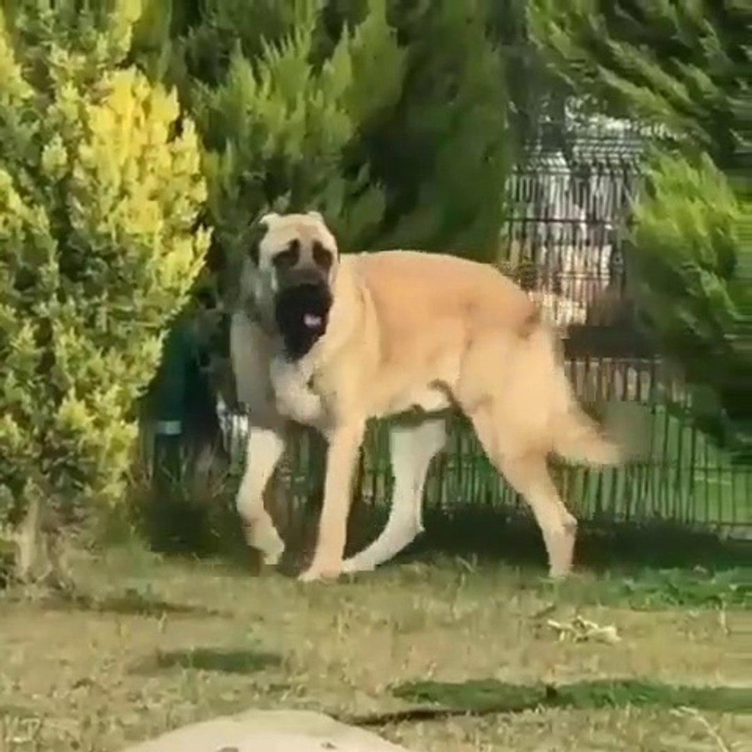DEV AKSARAY MALAKLI KOPEGi - GiANT ANATOLiAN MALAKLI SHEPHERD DOG