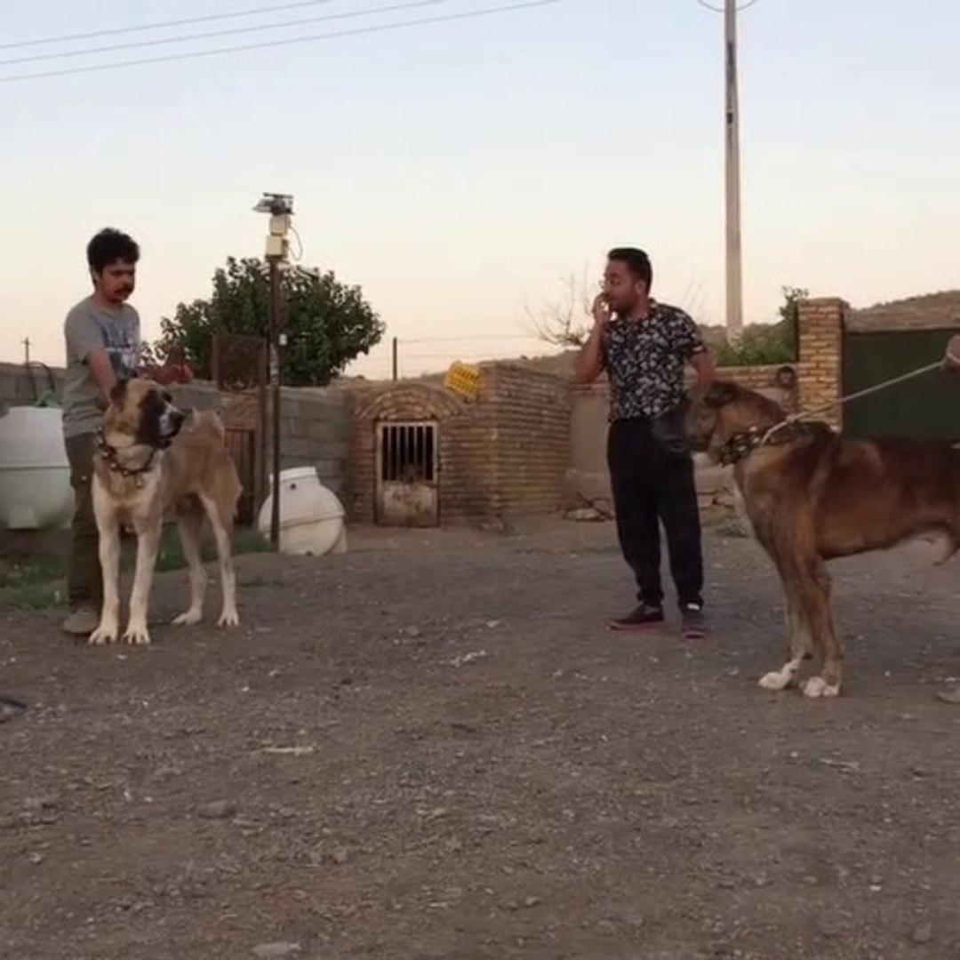 iRAN HOROSANi COBAN KOPEKLERi KARSILASMASI - PERSiAN HOROSANi SHEPHERD DOGS