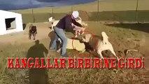 KANGAL KOPEK CiFTLiGiNDE KANGALLAR BiRBiRiNE GiRDi - KANGAL DOGS vs  KANGAL DOG at FARM